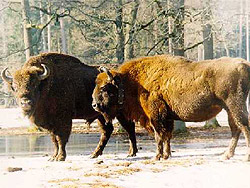 Bison is the pride of Belovezhskaya Pushcha